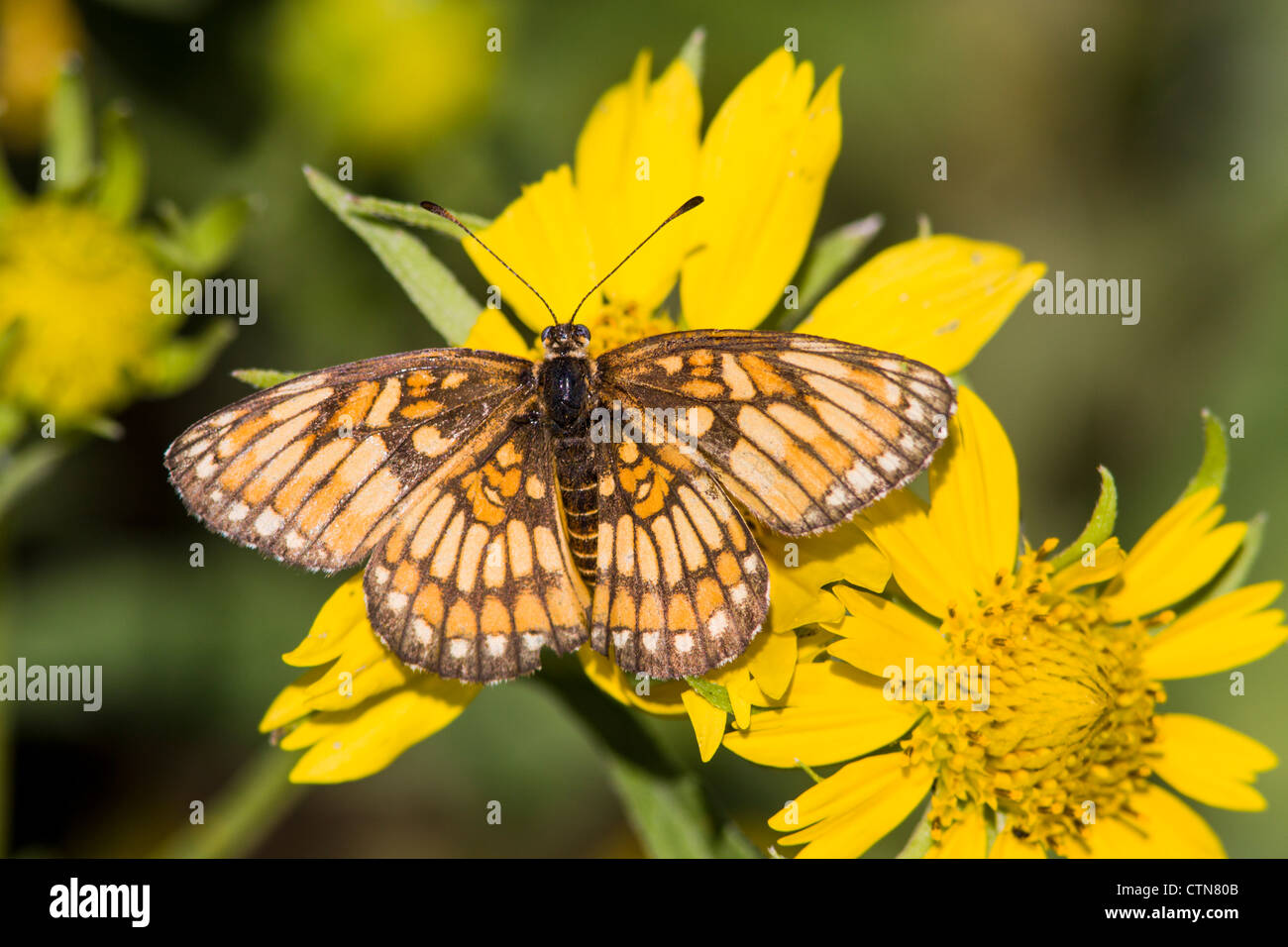 Theona Checkerspot Butterfly, Thessalia theona, on yellow Coreopsis wildflower - Stock Image
