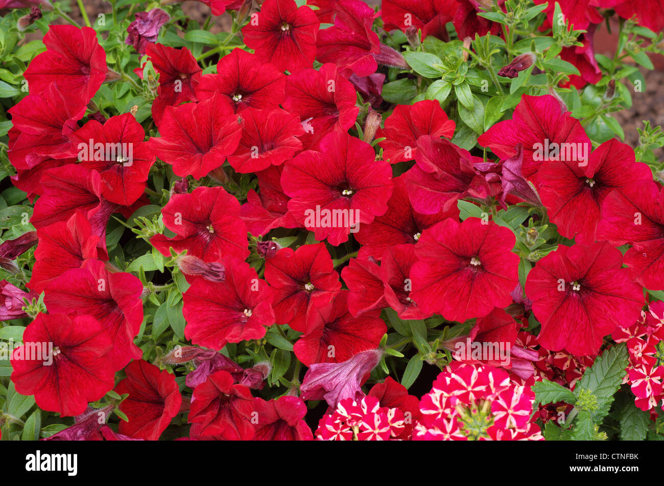 Red petunia flowers close up - Stock Image