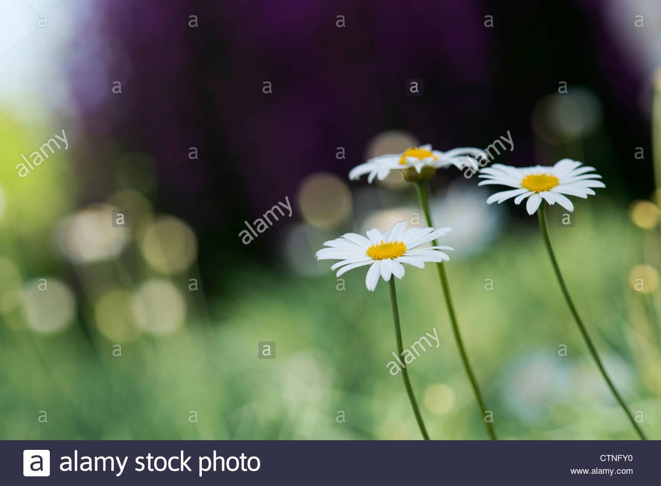 Evergreen daisies stock photos evergreen daisies stock images alamy argyranthemum gracile chelsea girl marguerite flowers stock image izmirmasajfo