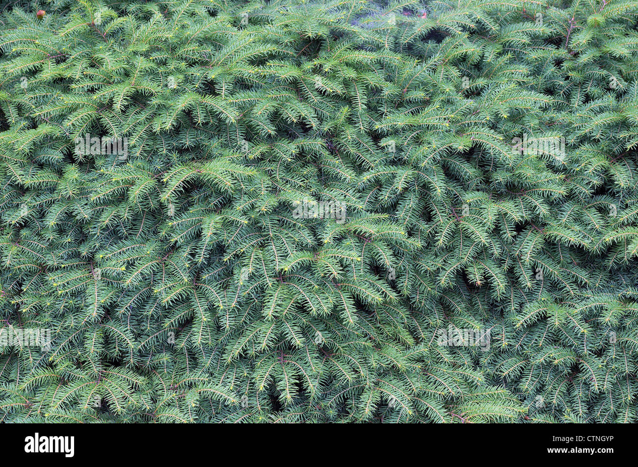 Spruce tree sprouts Picea abies - Stock Image