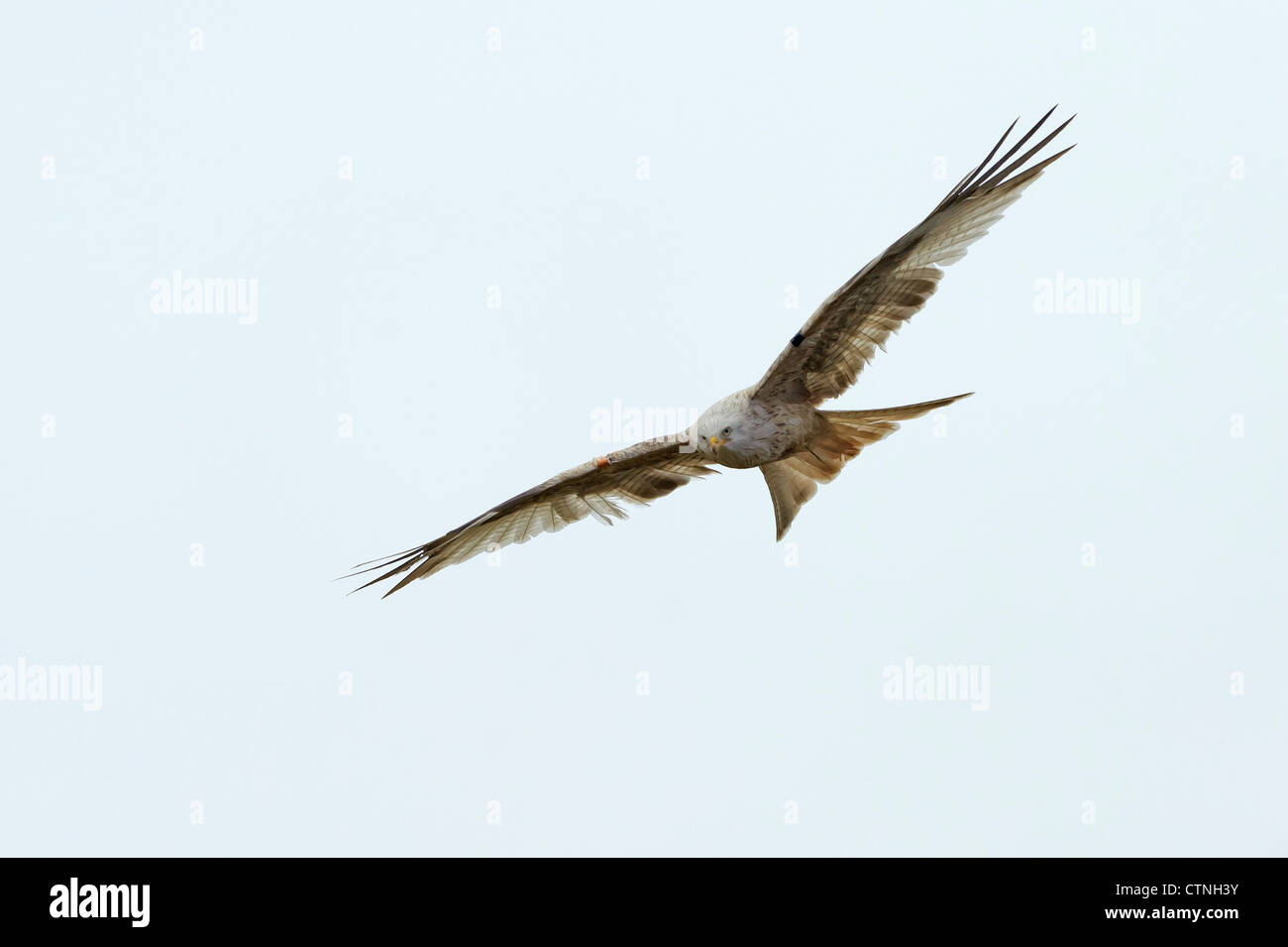 A leucistic red kite (Milvus milvus) in flight at Gigrin Farm, Rhayader, mid Wales. January 2011. - Stock Image