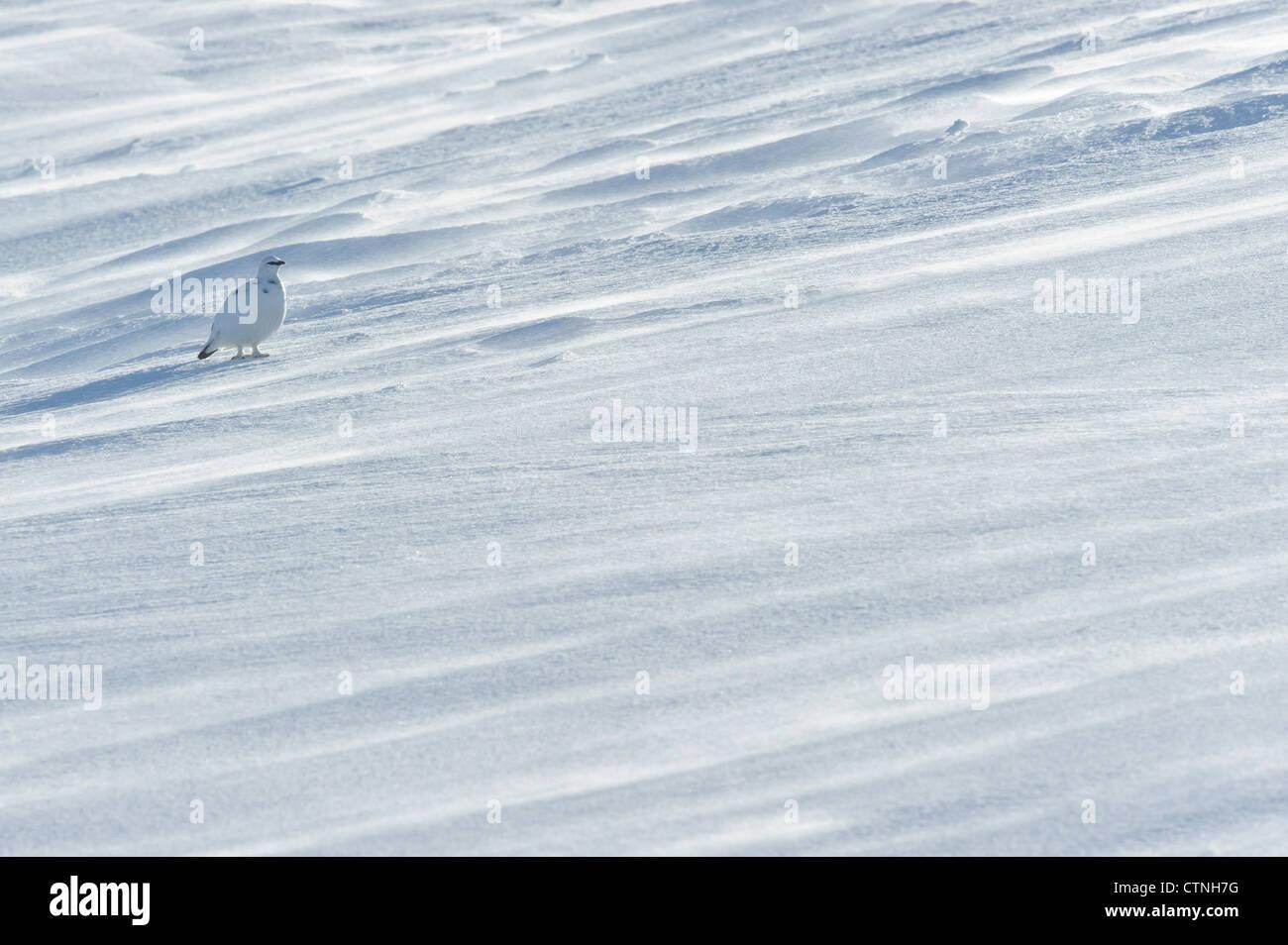 Rock ptarmigan (Lagopus mutus) in winter plumage. Cairngorms National Park, Scotland. February. - Stock Image