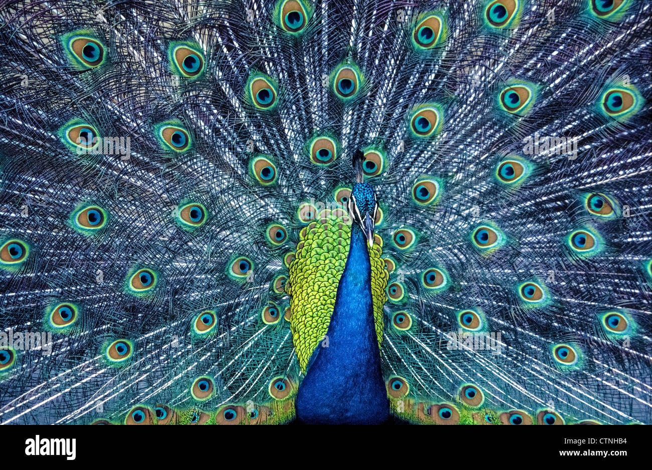 An Indian peacock fans his tail feathers to attract a mate with a colorful courtship display of iridescent blue - Stock Image