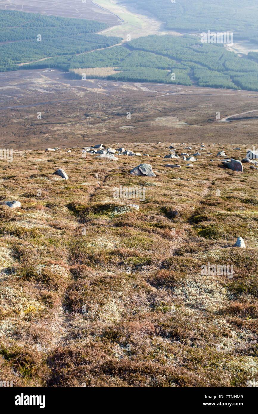 Mountain Hare; Lepus timidus; Cairngorm; Scotland; UK; tracks - Stock Image