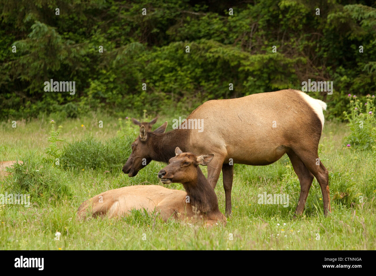 Roosevelt elk resting in a meadow in northern California, USA LATIN NAME Cervus canadensis roosevelti COMMON NAME - Stock Image