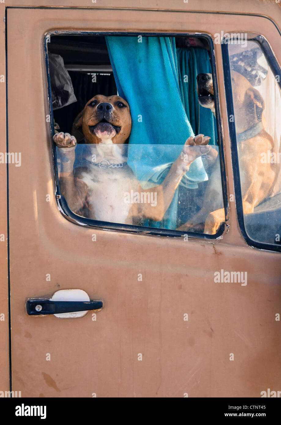 Two dogs in cab of van with window open on hot day - Stock Image