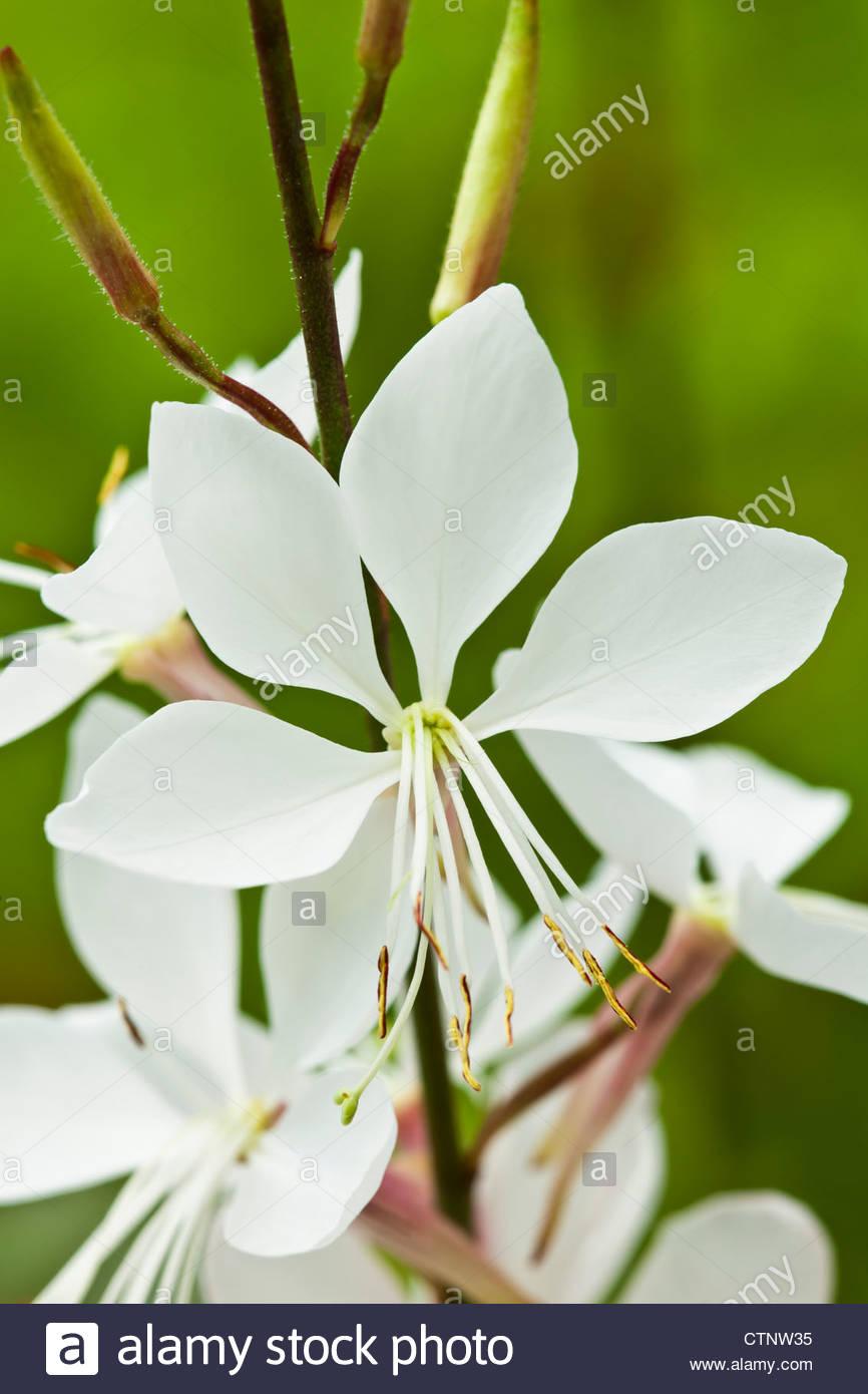 Lindheimer's beeblossom Gaura lindheimeri Whirling Butterflies summer flower perennial white July garden plant - Stock Image