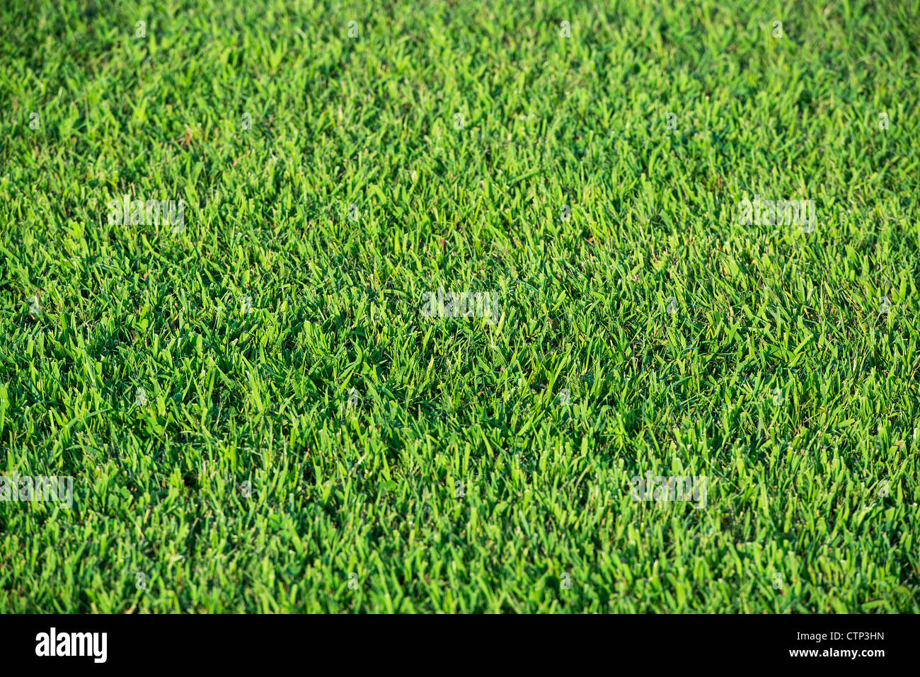 Sod being grown on a turf farm. - Stock Image