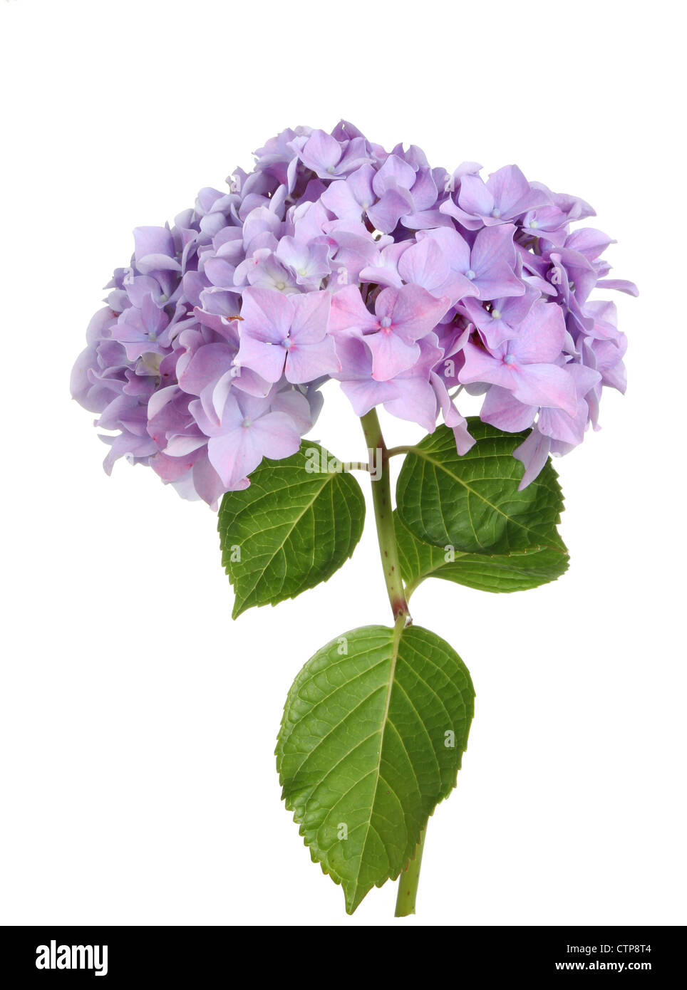 Mophead hydrangea flower and leaves isolated against white - Stock Image
