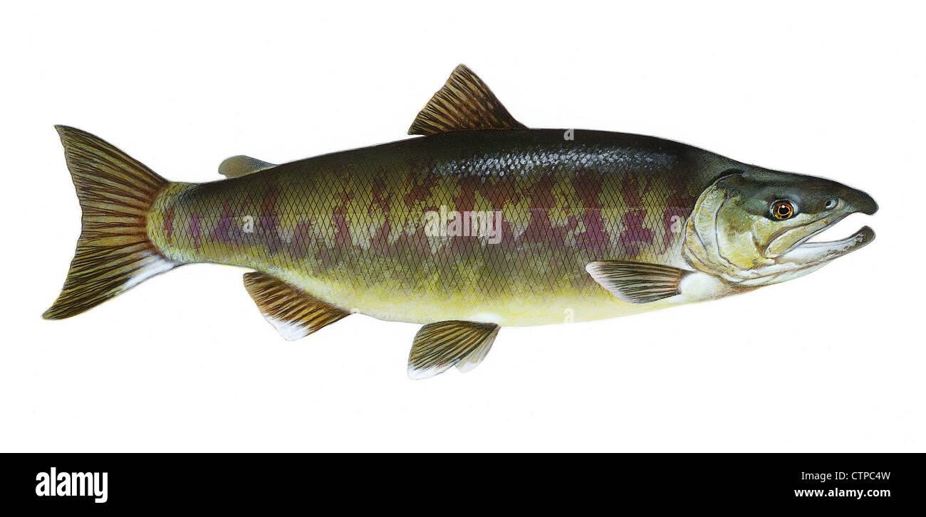 Unique Keta Fish 85