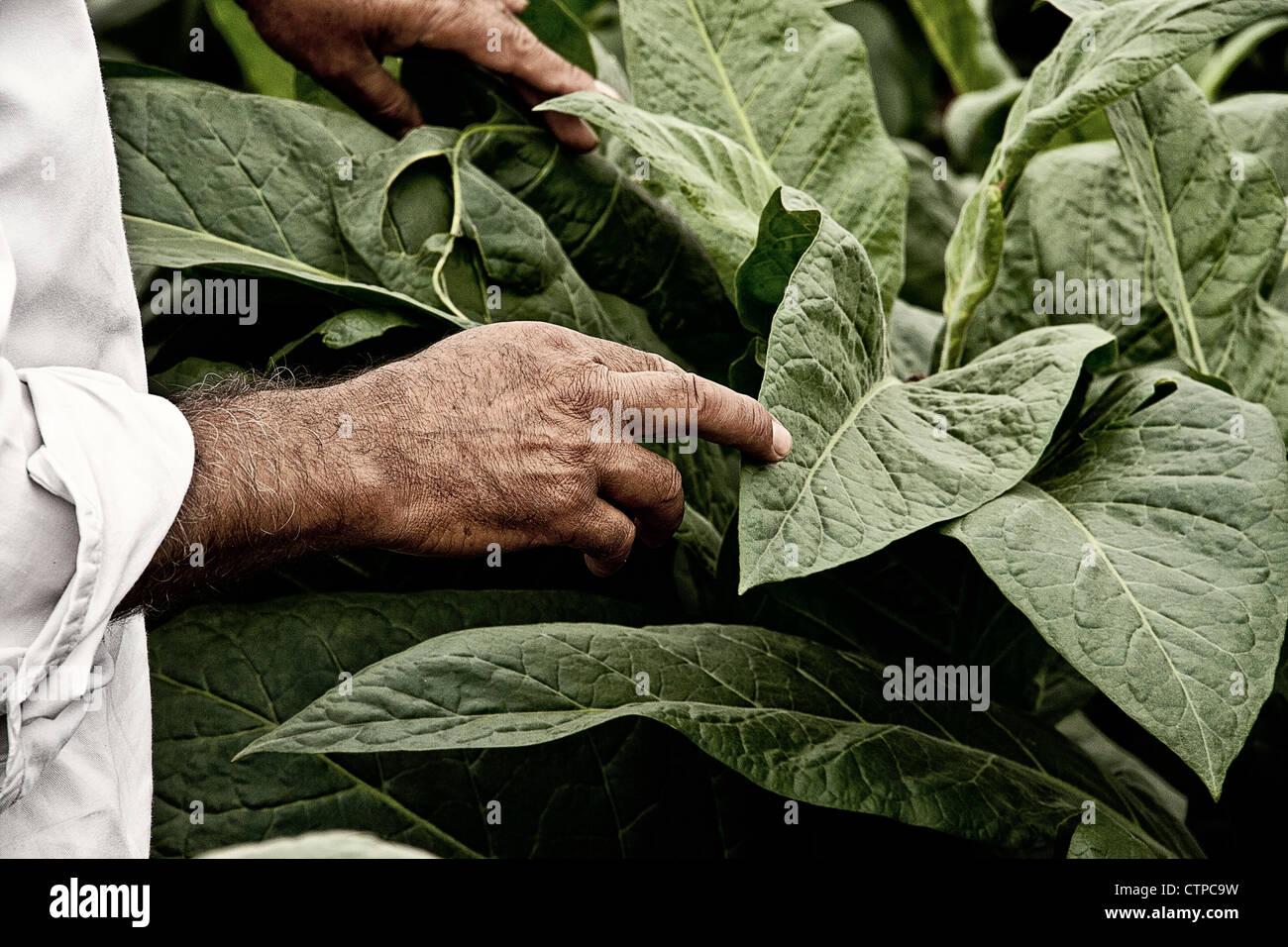 Tobacco worker explaining tobacco leaf morphology. - Stock Image
