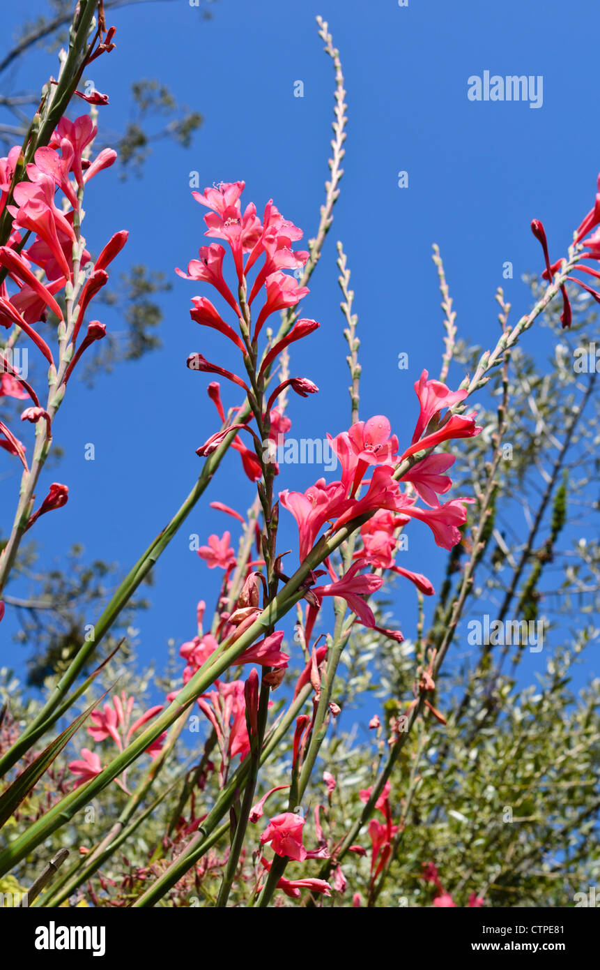 Page 10   Watsonia High Resolution Stock Photography and Images   Alamy