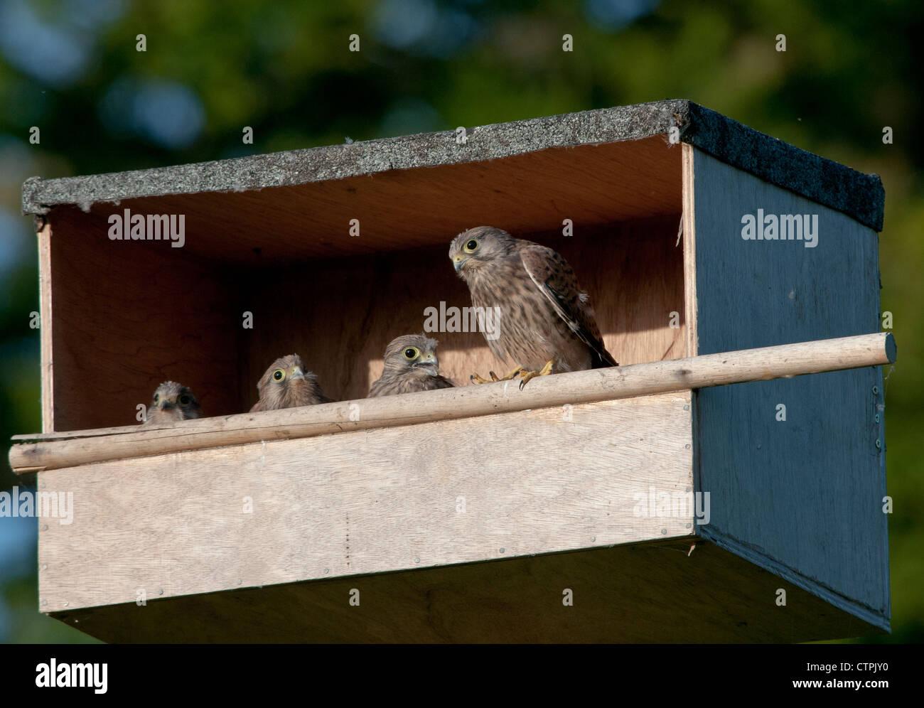 Juvenile Kestrels (Falco tinnunculus) - Stock Image