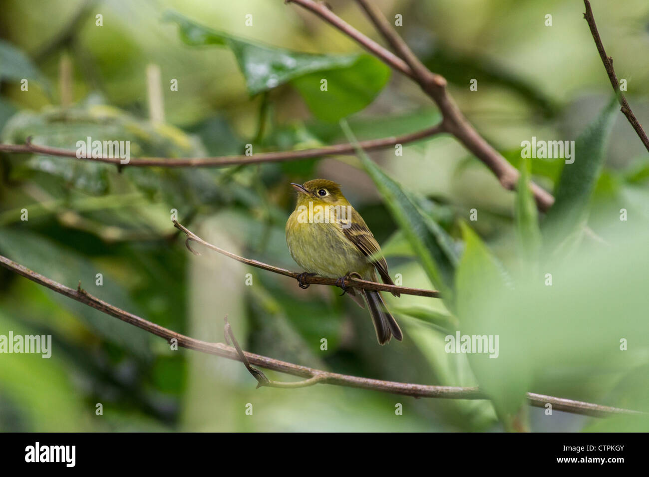 Yellowish Flycatcher (Empidonax flavescens) Bajo Mono trail, Chiriqui Highlands, Panama. - Stock Image