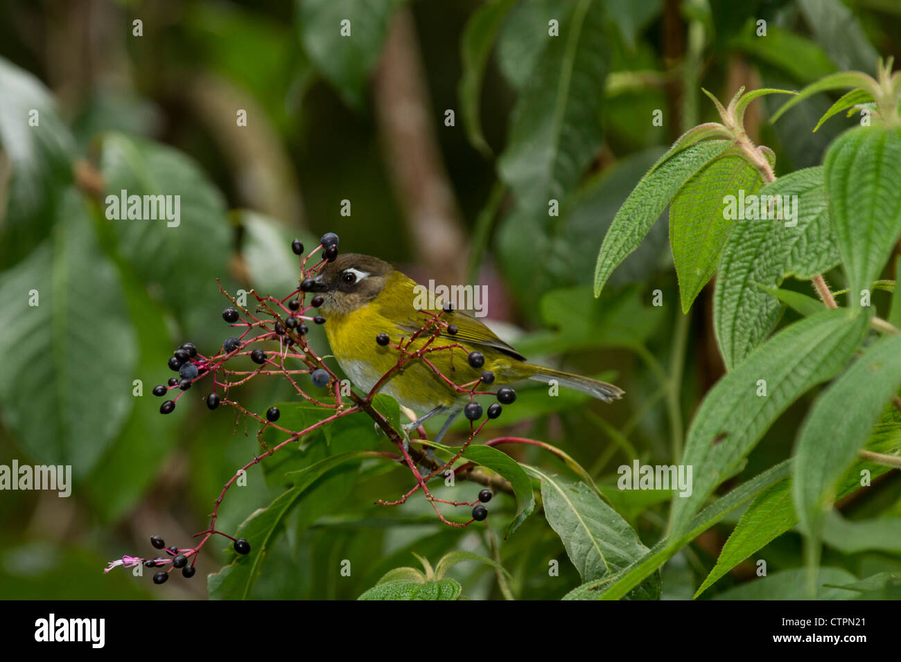 Common Bush Tanager (Chlorospingus ophthalmicus) on the Bajo Mono trail, Chiriqui Highlands, Panama. - Stock Image