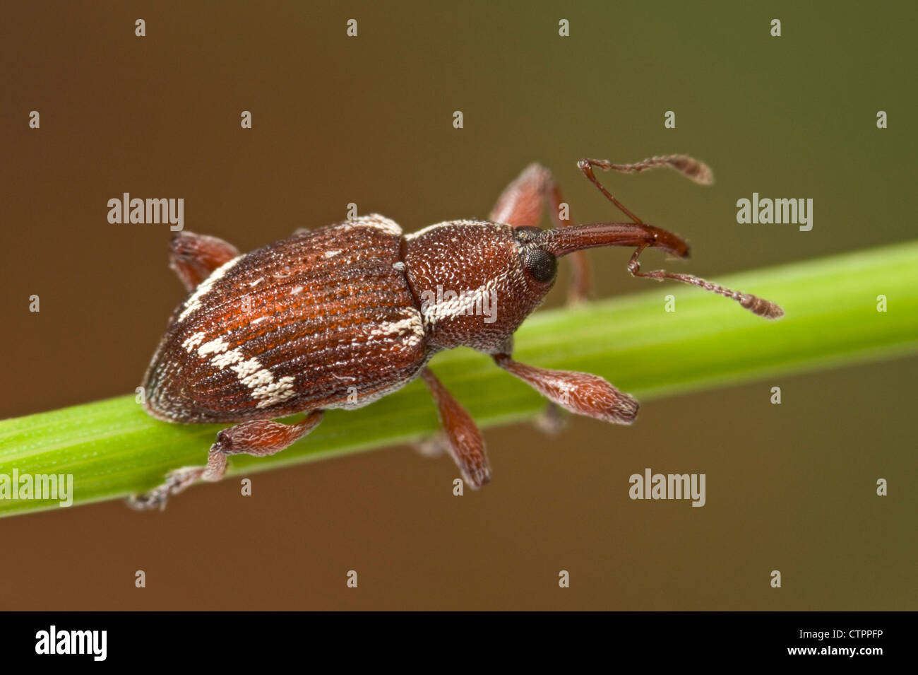 Small brown weevil on plant stem - Stock Image