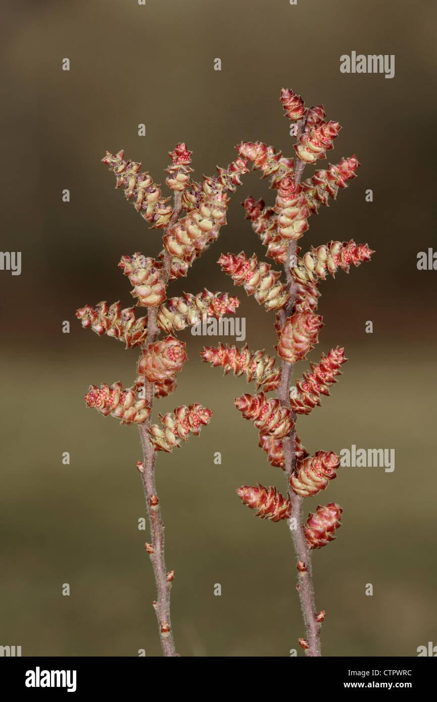 BOG-MYRTLE Myrica gale (Myricaceae) - Stock Image