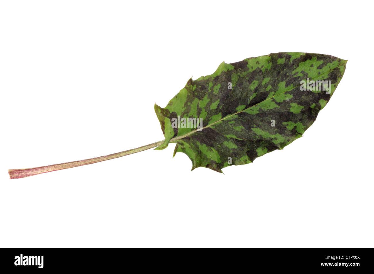 SPOTTED HAWKWEED Hieracium maculatum (Asteraceae) - Stock Image