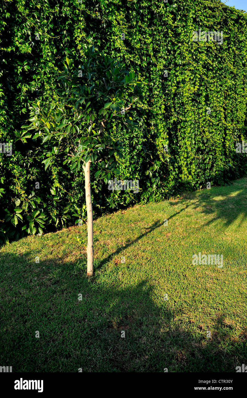 Tree and hedge Stock Photo
