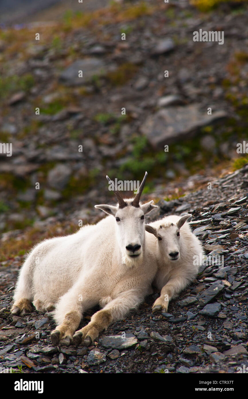 A mountain goat nanny her kid are resting on hillside near Harding Icefield Trail Exit Glacier in Kenai Fjords National - Stock Image