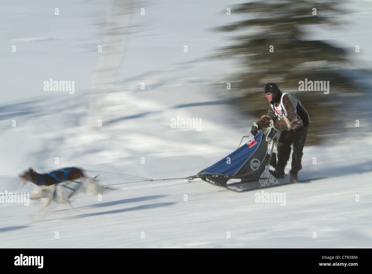 Musher races around curve Ambassador Drive on second day Fur Rondy World Champion Sled Dog Race Anchorage Southcentral - Stock Image