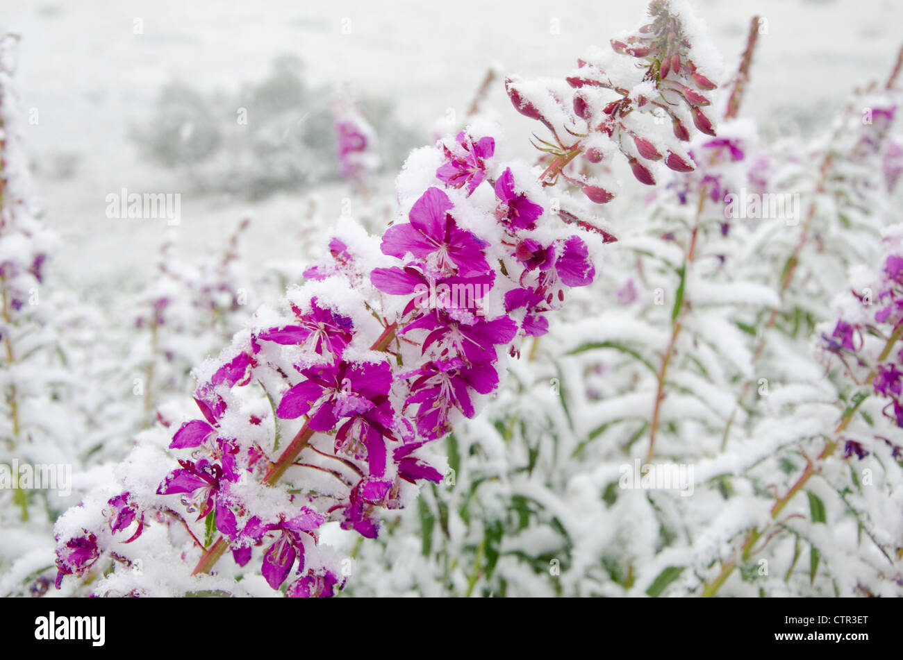 Fireweed flowers covered by late summer snowstorm, Sable Pass, Denali National Park & Preserve, Interior Alaska - Stock Image
