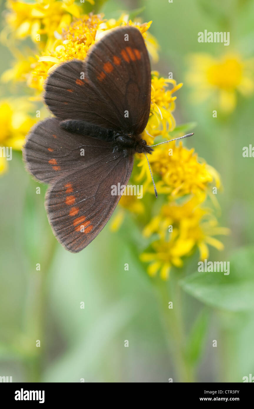 Theano Alpine butterfly  wings open perched on Northern Goldenrod flower Denali National Park & Preserve Interior - Stock Image