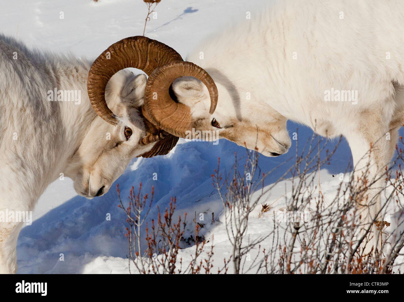 Two ram Dall Sheep but heads, Chugach Mountains, Southcentral Alaska, Winter - Stock Image