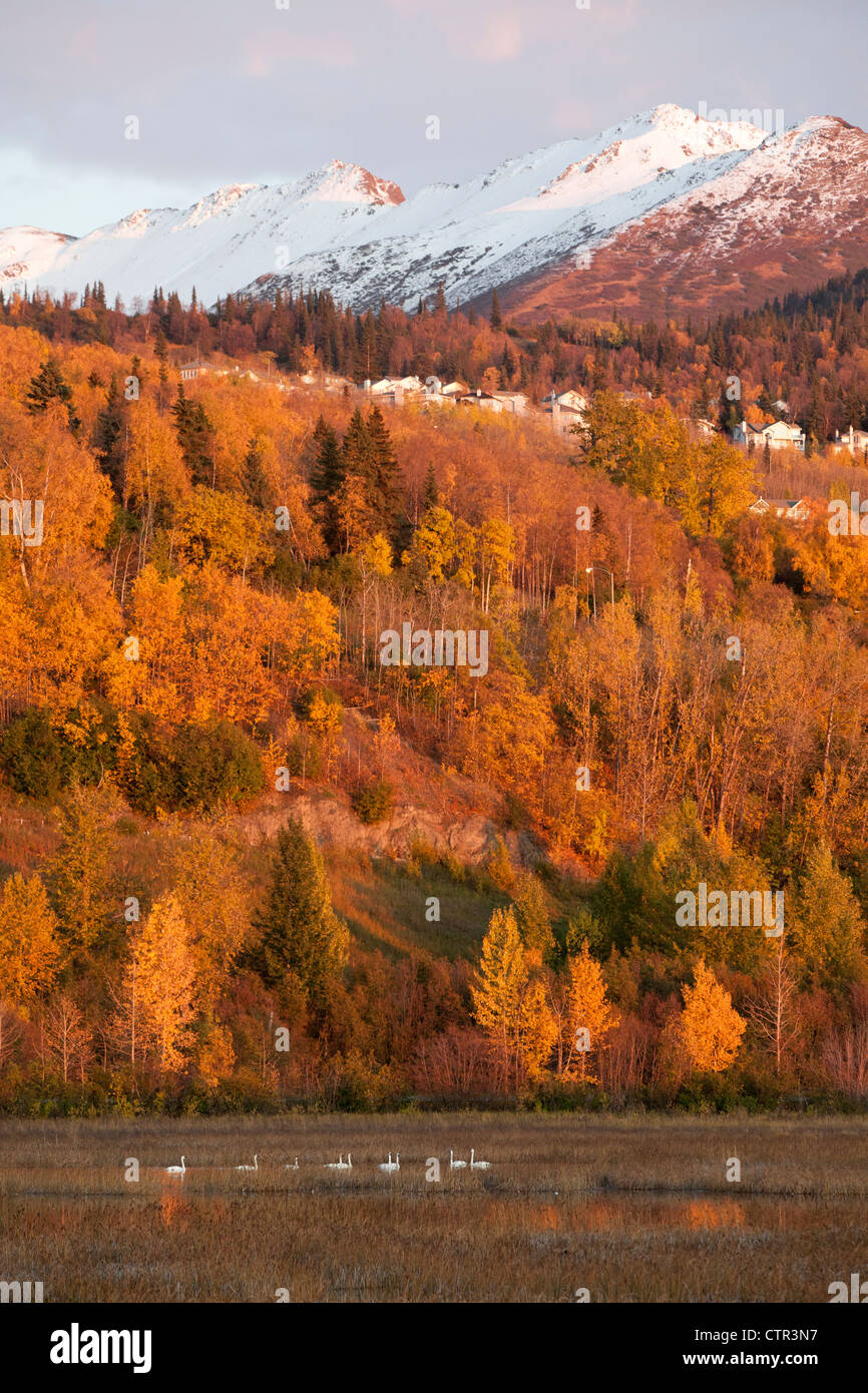 View of Chugach Mountains, Anchorage hillside and Trumpeter Swans in Potter Marsh, Southcentral Alaska, Autumn - Stock Image