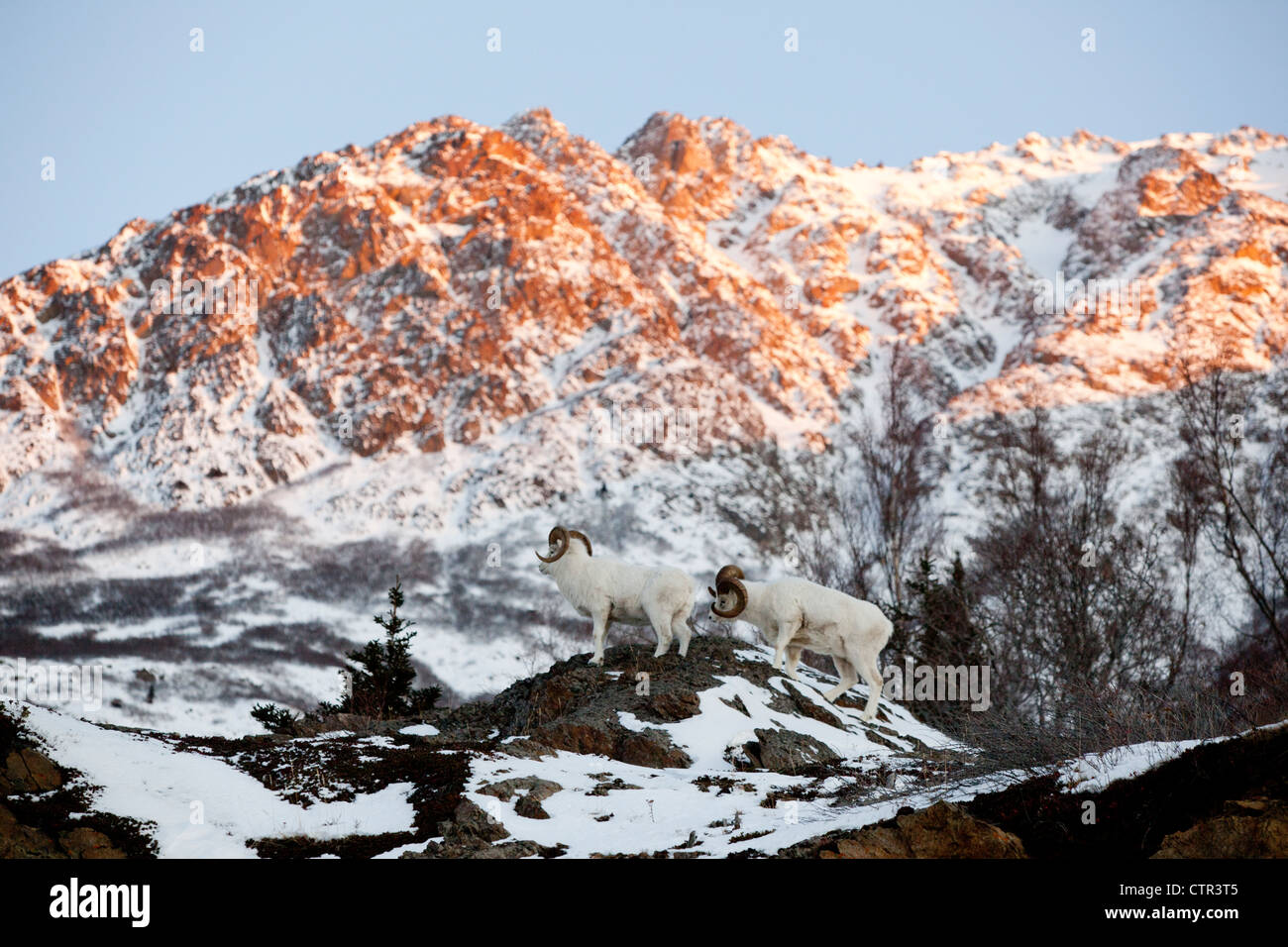 Dall rams standing in front of Chugach Mountains above Seward Highway at sunset, Southcentral Alaska, Winter - Stock Image