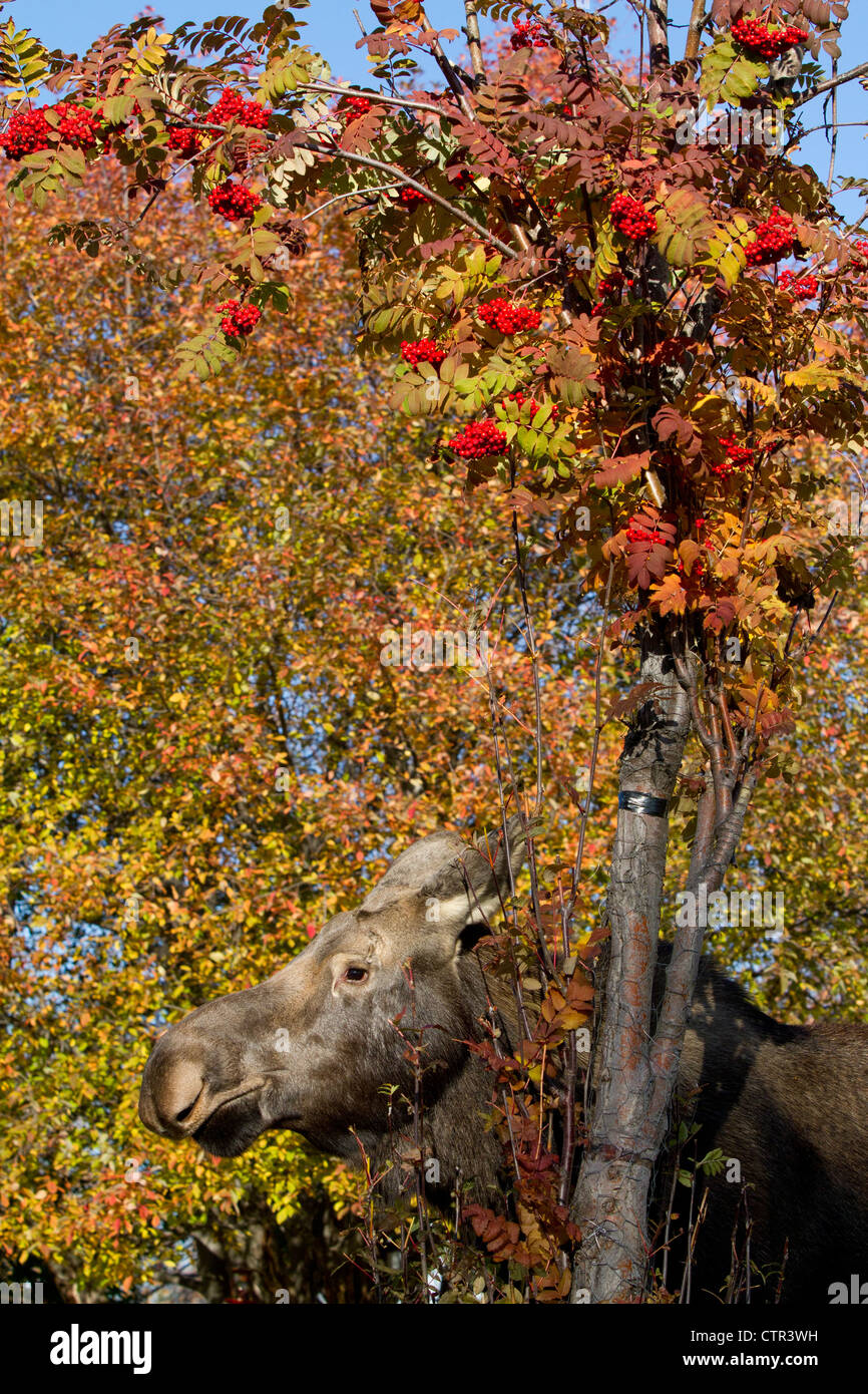 Cow moose standing near a  Mountain Ash in Anchorage, Southcentral Alaska, Autumn - Stock Image