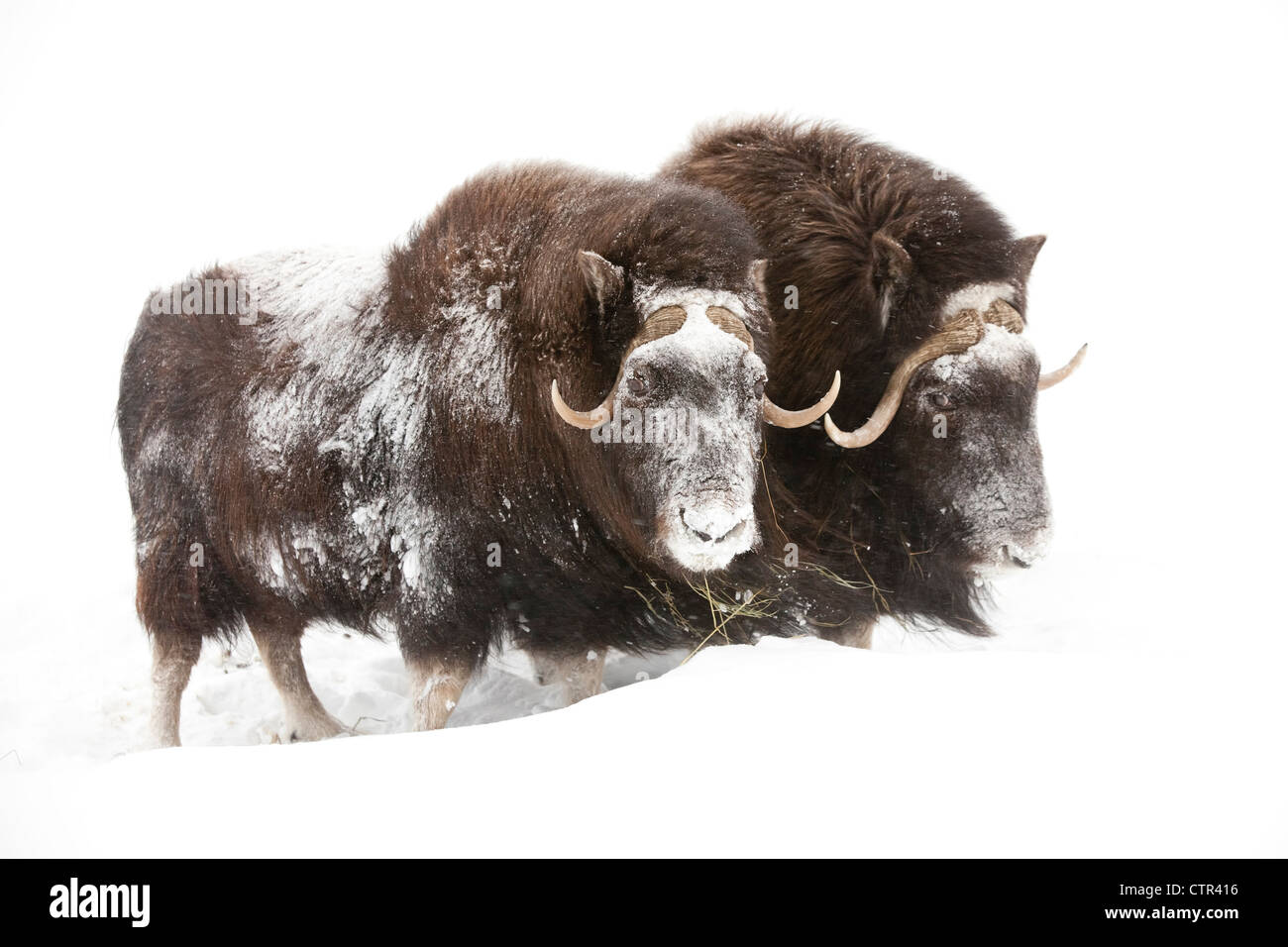 CAPTIVE: Three female Musk Ox stand in deep snow during a winter storm, Alaska Wildlife Conservation Center, Southcentral - Stock Image