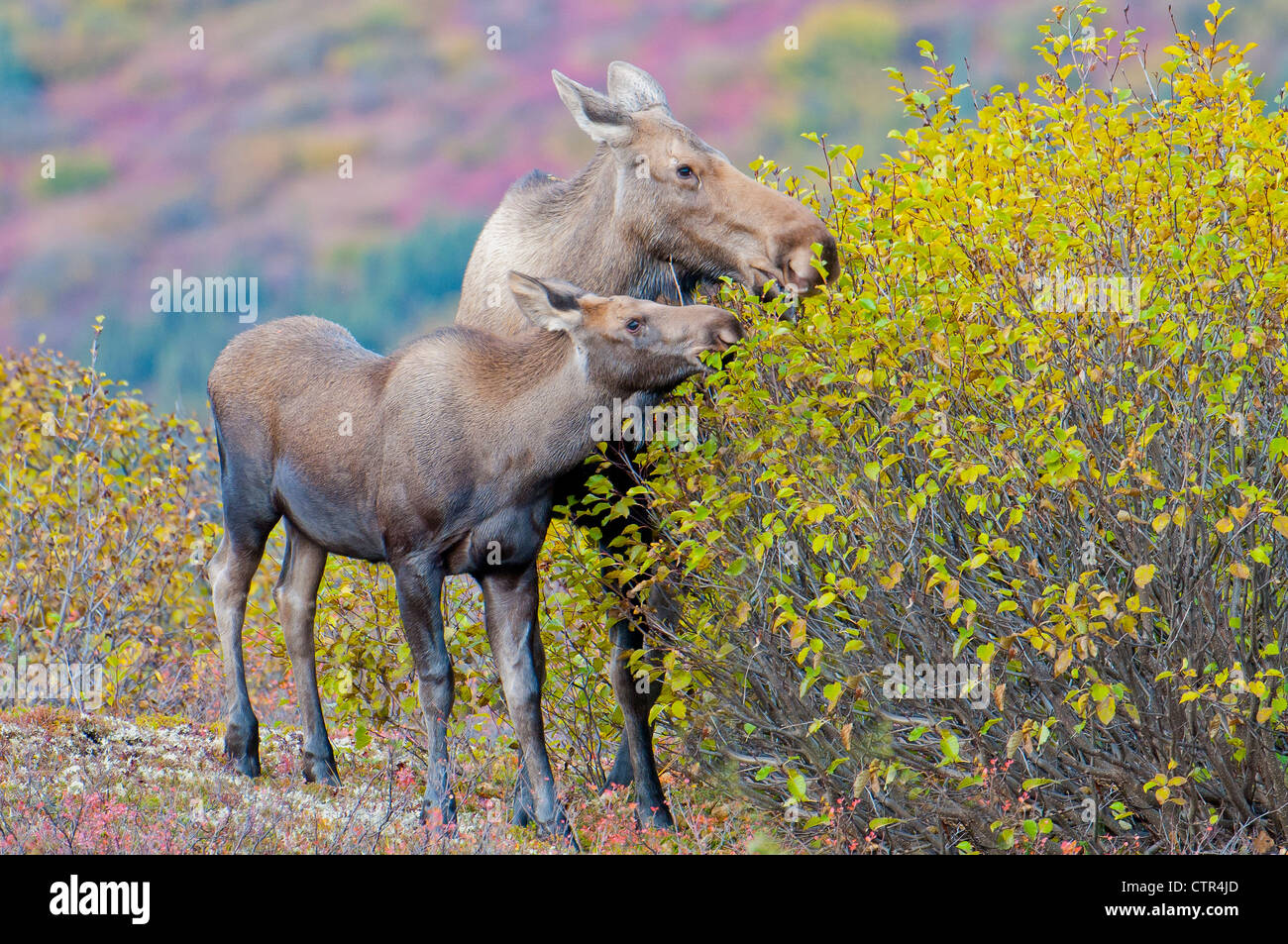 Cow and Calf moose eat fall birch leaves in Denali National Park & Preserve, Interior Alaska - Stock Image