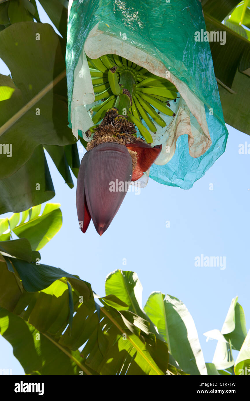 Banana flower with protective plastic bag covering the fruit, seen at a banana farm bear Mission Beach, Queensland Stock Photo