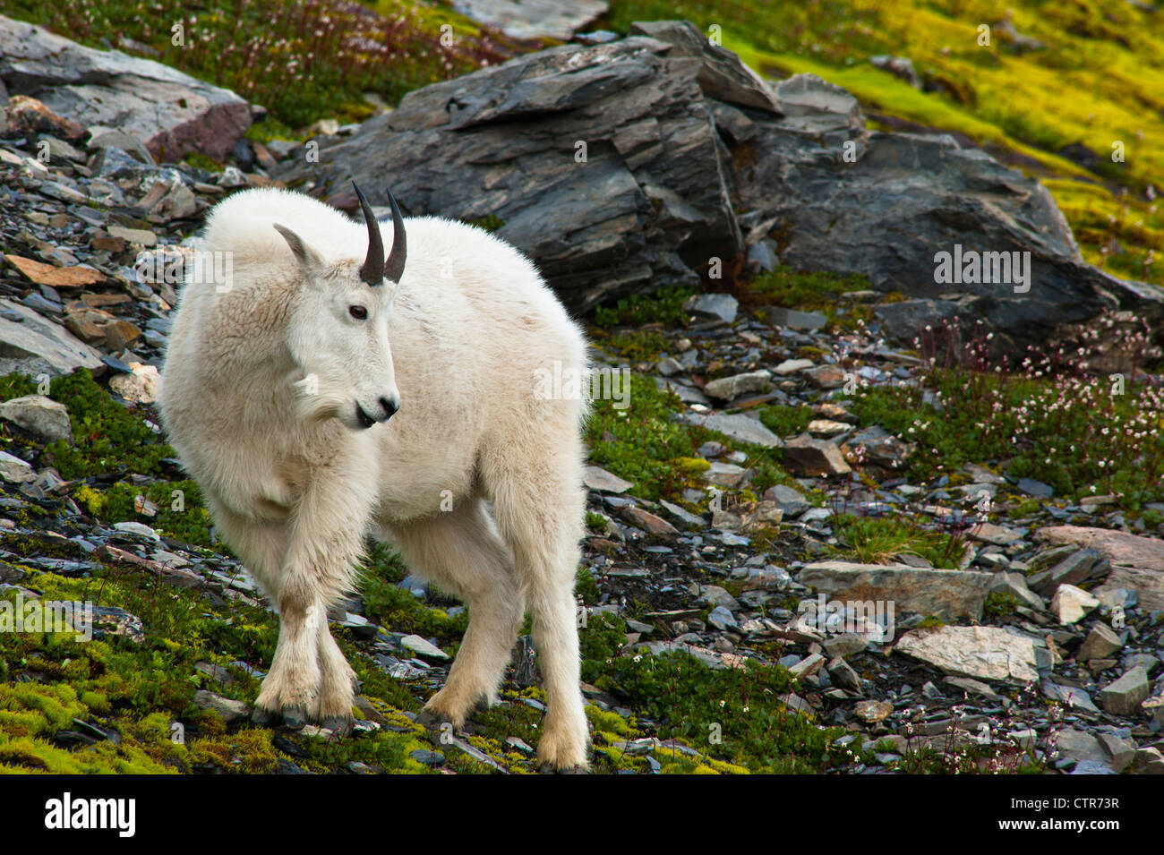 Mountain goat billy is grazing on plants near the Harding Icefield Trail at Exit Glacier in Kenai Fjords National - Stock Image