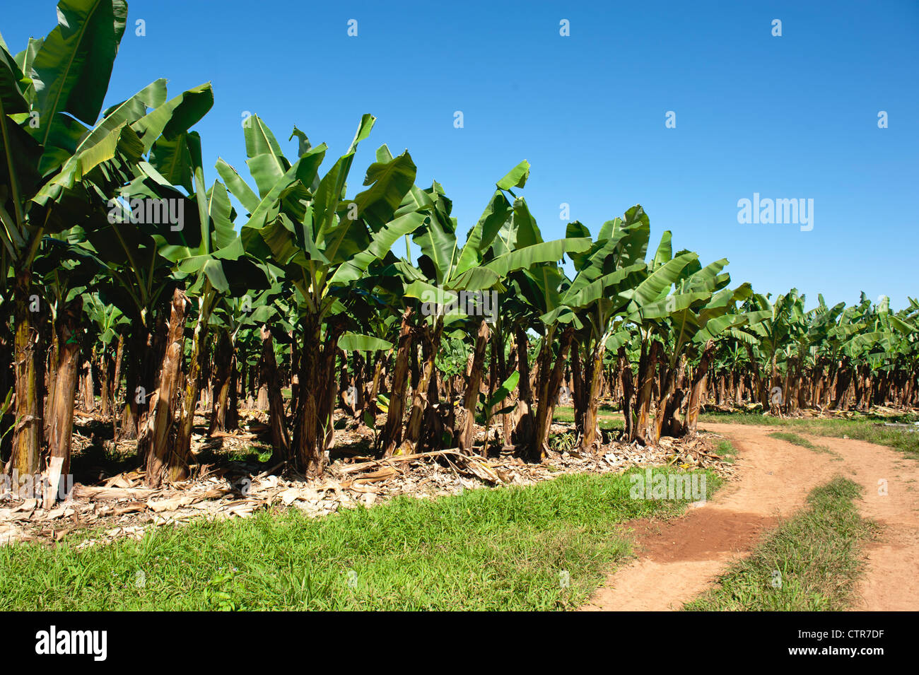 Banana plantation in the wet tropics of Queensland near Mission Beach on the Cassowary Coast - Stock Image