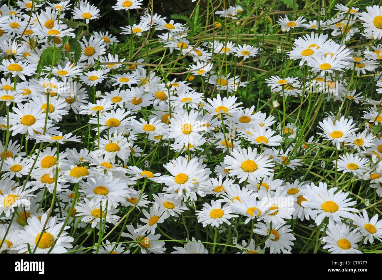 Ox-eye daisies Leucanthemum vulgare Stock Photo