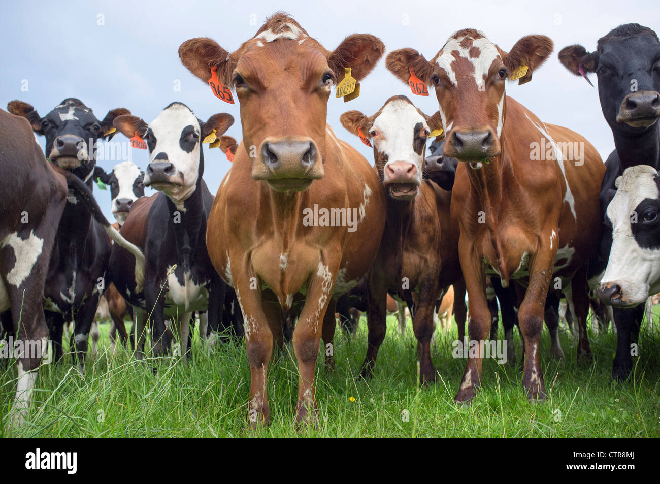 Cows in Field Staring at Camera Stock Photo