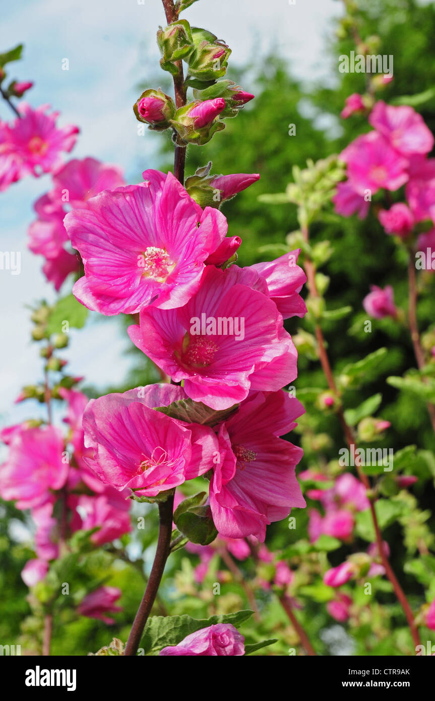 Flowers of Lavatera trimestris syn. Lavatera rosea - Stock Image