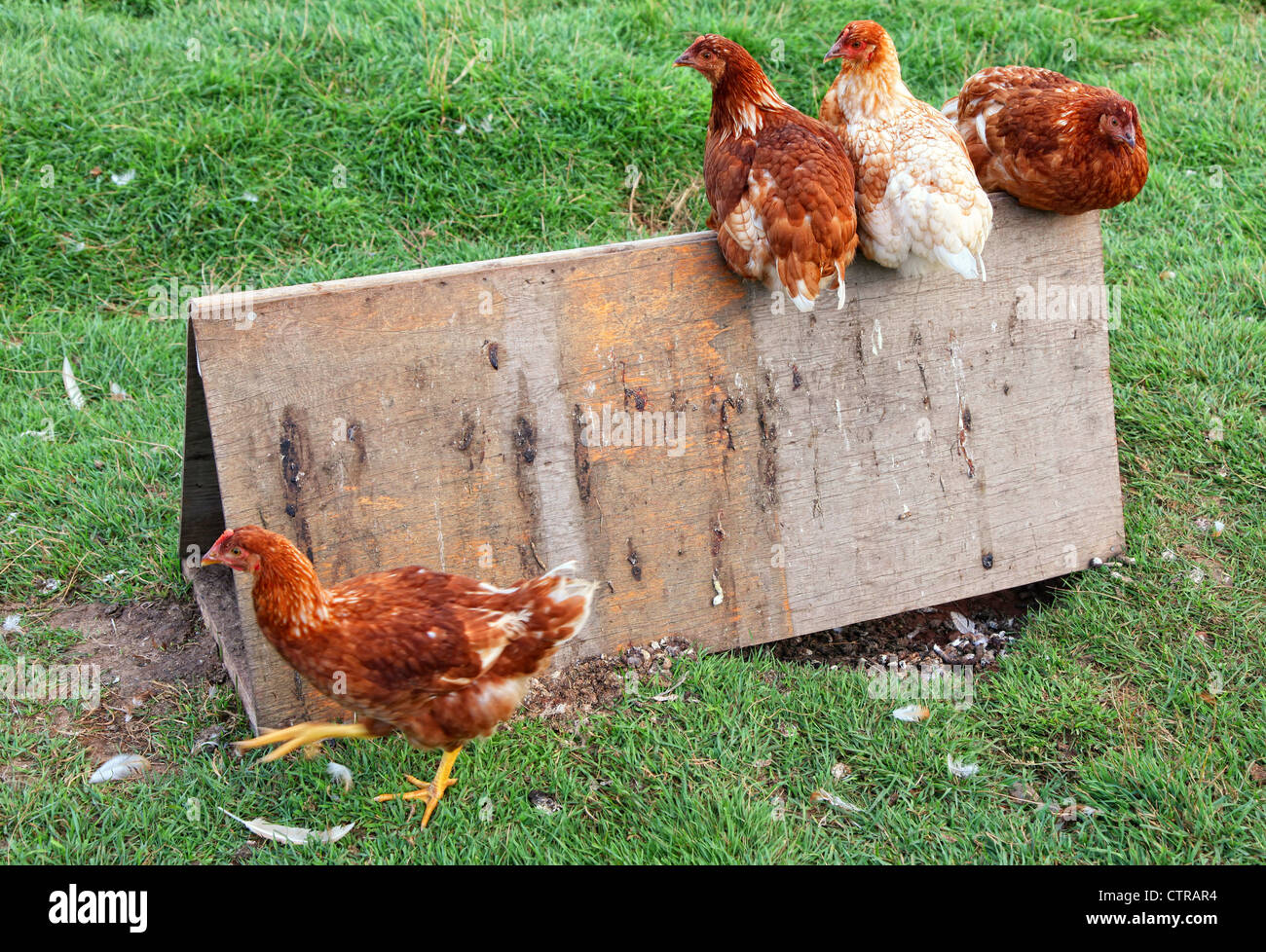 Organic free range chickens in their grassed enclosure. - Stock Image