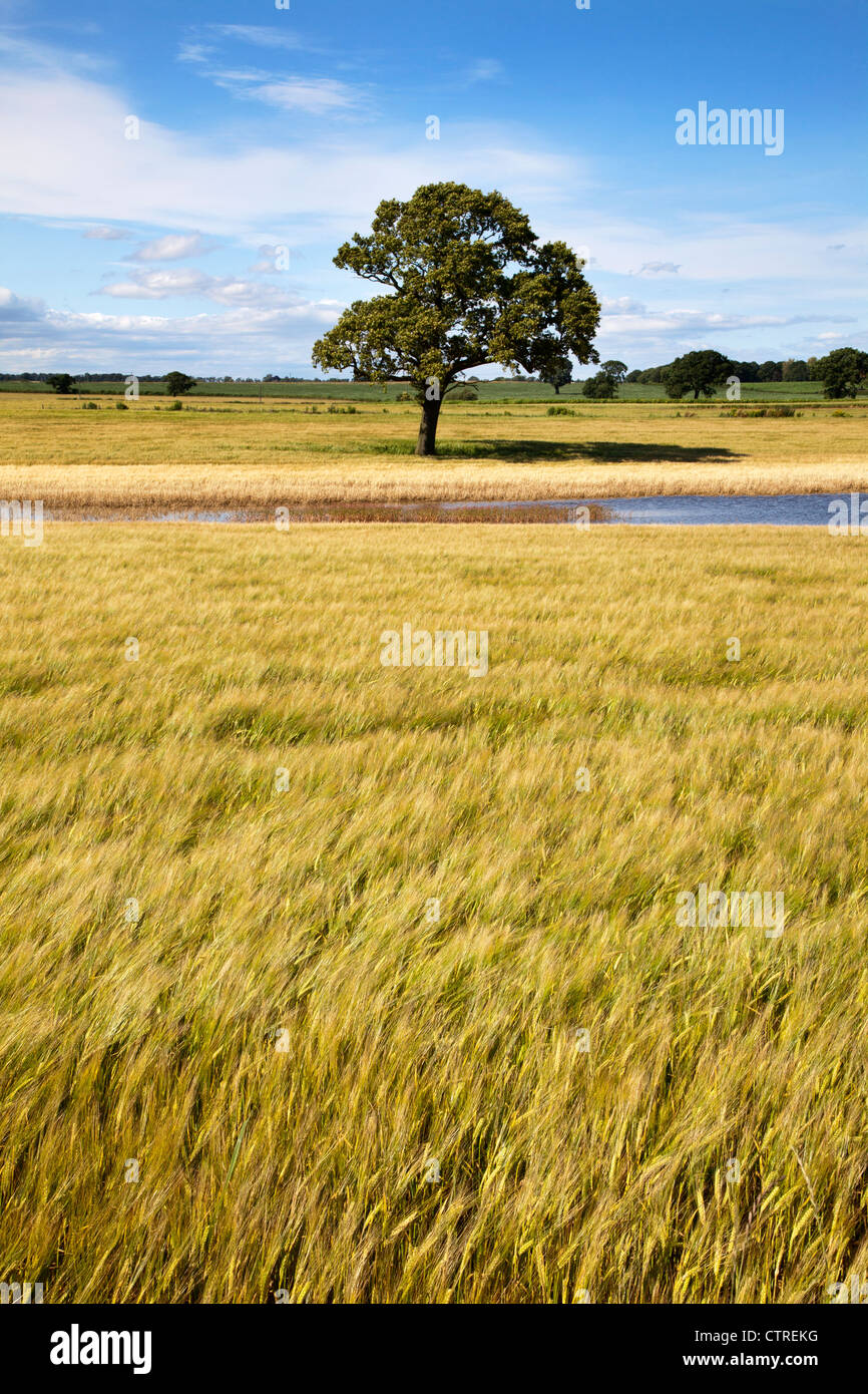 Lone Tree and Floodwater in a Barley Field near Knaresborough North Yorkshire England Stock Photo