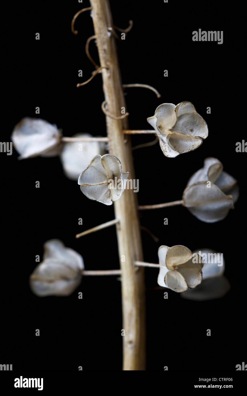 Hyacinthoides non-scripta, Bluebell, English bluebell, Brown, Black. - Stock Image