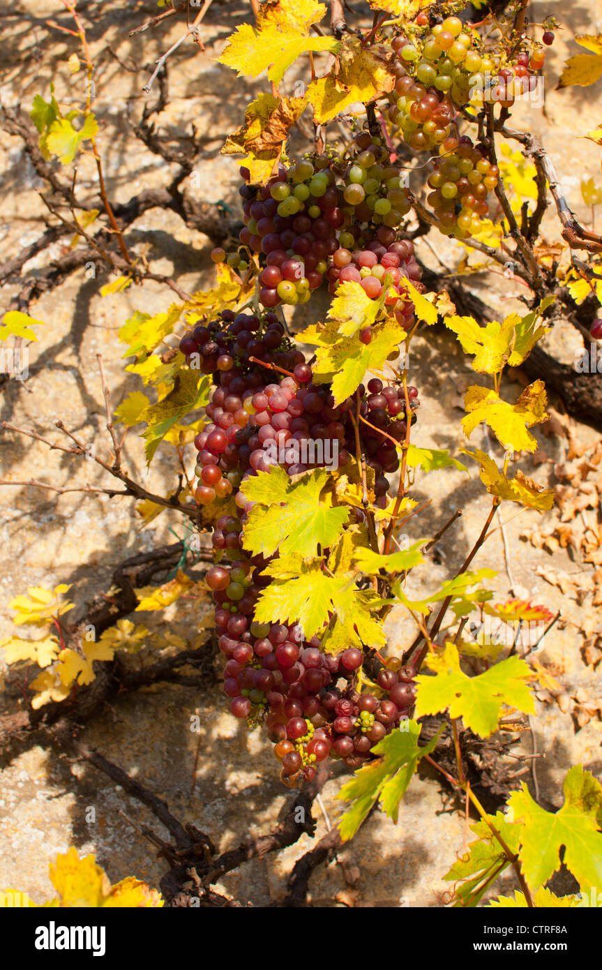 Grapevine Against Wall Stock Photos & Grapevine Against Wall Stock ...