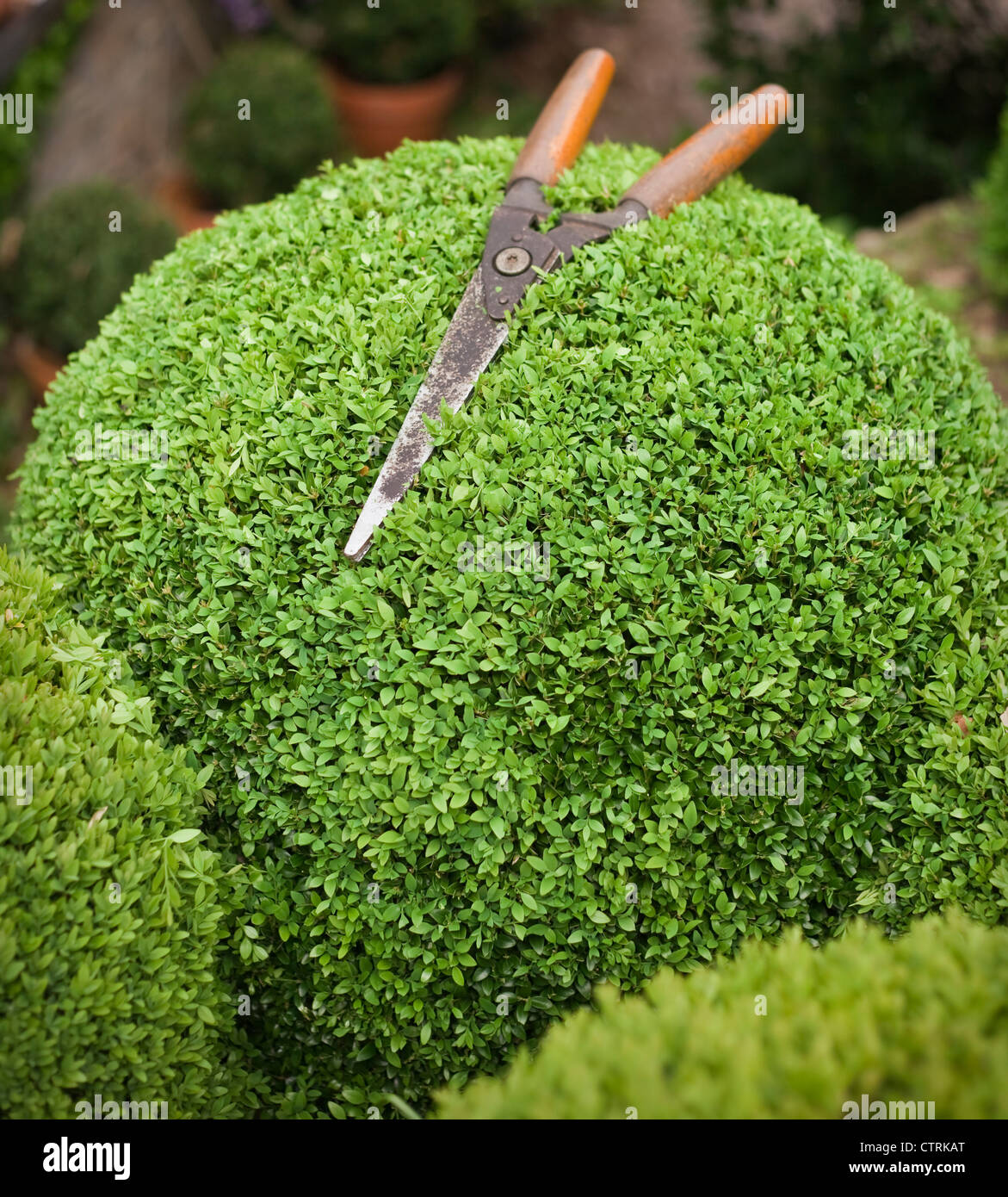 Spring pruning dome shaped Buxus sempevirens evergreen garden topiary with vintage handshears, May - Stock Image