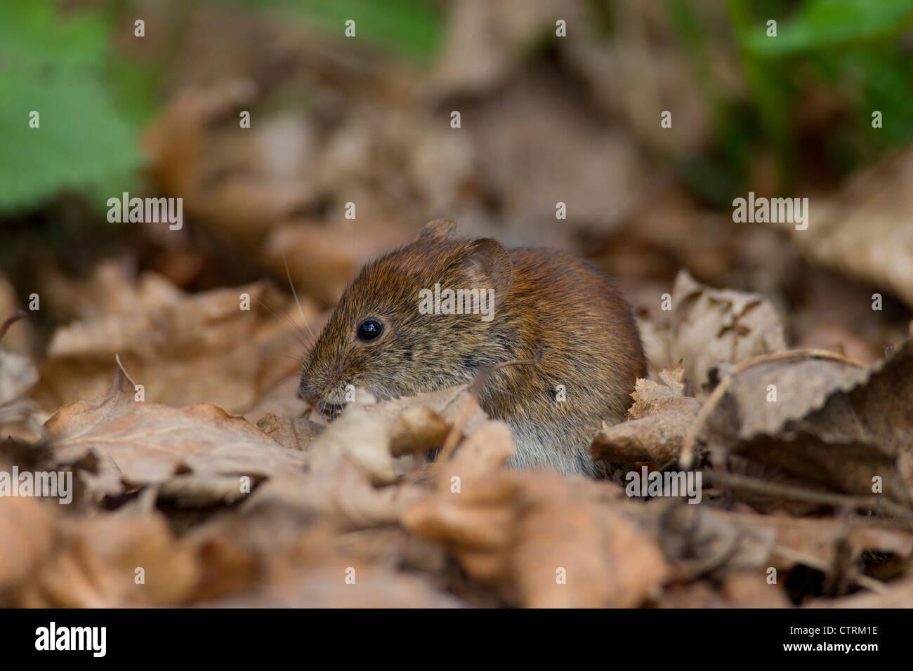 Bank vole (Myodes glareolus / Clethrionomys glareolus) foraging among autumn leaves on the forest floor, Germany - Stock Image