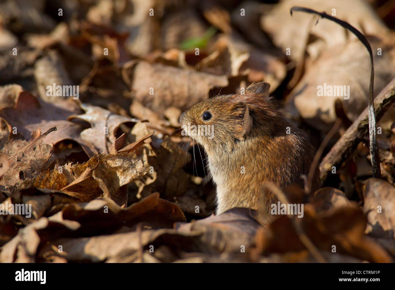 Bank vole (Myodes glareolus / Clethrionomys glareolus) sitting camouflaged among dead leaves on the forest floor, - Stock Image