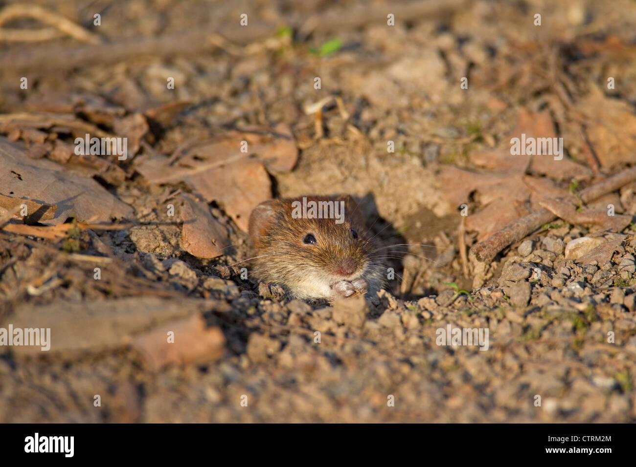 Bank vole (Myodes glareolus / Clethrionomys glareolus) leaving burrow, Germany - Stock Image
