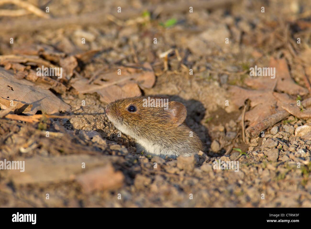 Bank vole (Myodes glareolus / Clethrionomys glareolus) leaving burrow - Stock Image