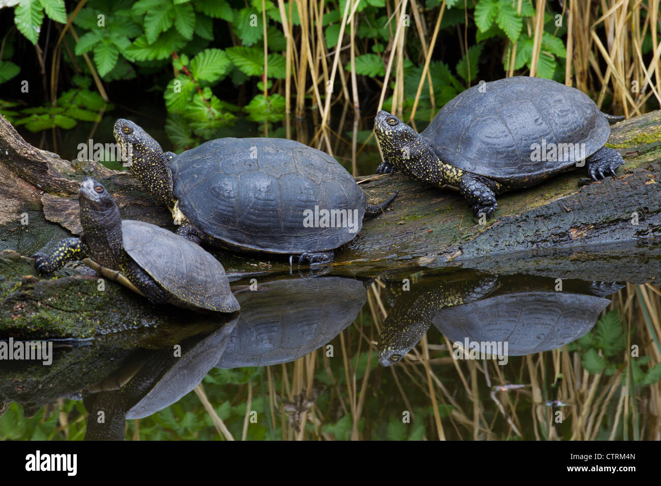 European pond turtles (Emys orbicularis) resting on fallen tree trunk along lake shore, Germany - Stock Image