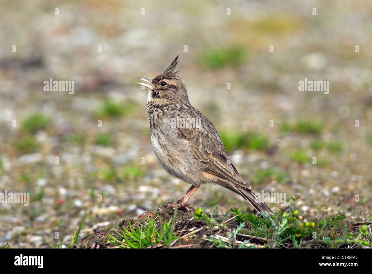 Crested lark (Galerida cristata) male sitting on the ground and calling, Germany Stock Photo